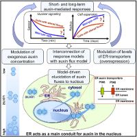Data-Driven Modeling of Intracellular Auxin Fluxes Indicates a Dominant Role of the ER in Controlling Nuclear Auxin Uptake (Cell Reports 2018)